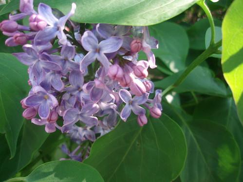 Lilacs in Spring 2011