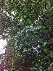 檜町公園のヤマボウシ(Flower, Hinokicho Park, Tokyo, Japan)