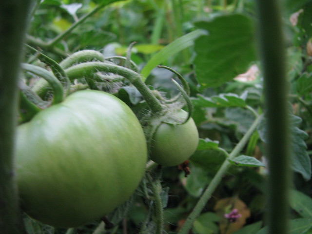 Tomatoes in process!