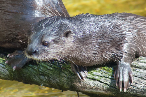otter is propping itself forward on a log. Its fur is damp, and it has large paws and claws.