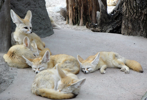 In Zoo-topia, with some Fennec foxes
