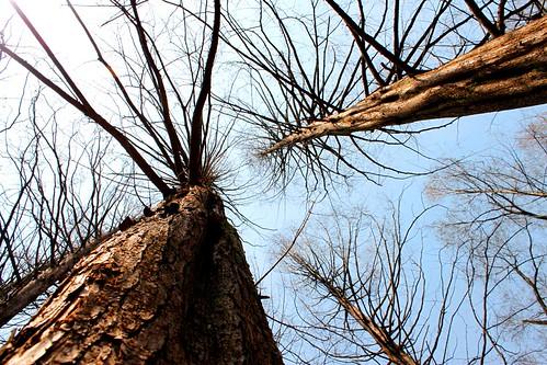 Nami Sequoias