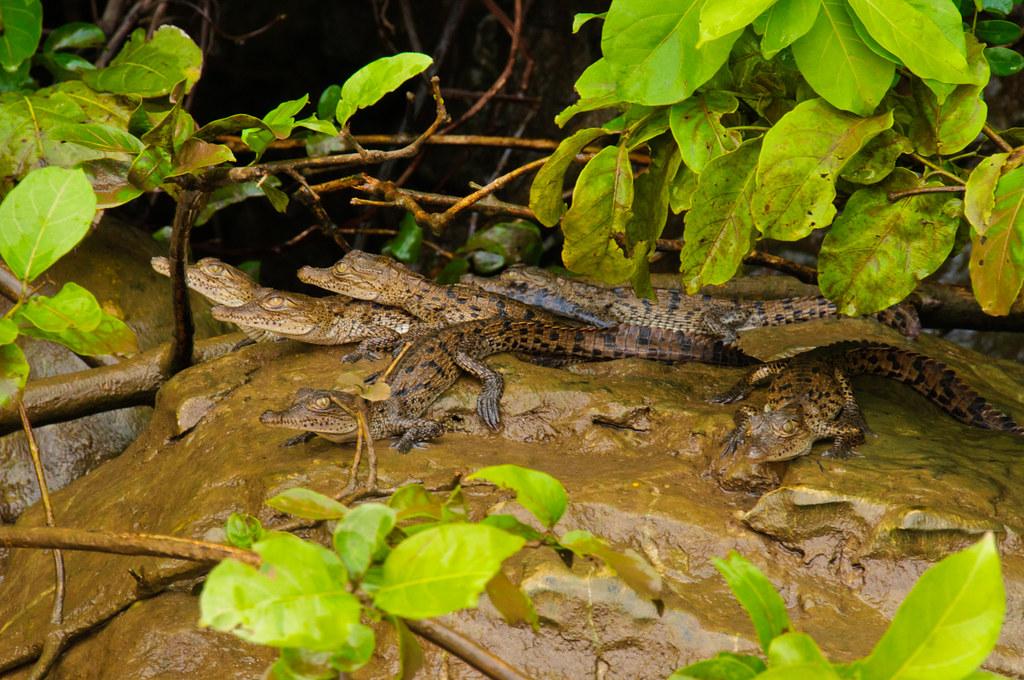 Baby crocodiles in the Sumidero Canyon