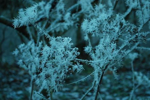 DSC_5850-frost-spikes-on-fennel