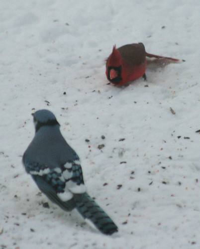 Northern Cardinal threatening Blue Jay