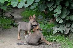 Iberische Wölfe im Gaia Park Kerkrade im August 2010