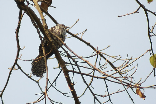 Asian Koel(Female) spotted at Lalbagh.