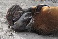 Pinselohrschweine im Gaia Park Kerkrade im Oktober 2010