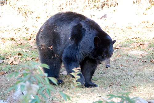 Louisiana Bear