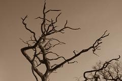 Dead Tree in Sepia