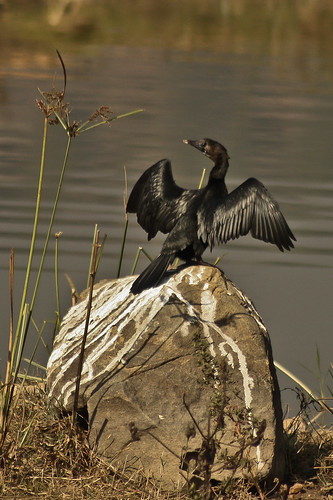 Little Cormorant spotted at Manchinabele Dam. Flying wings.