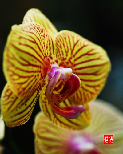 D80-CHI_Orchid01-2010_11-18B