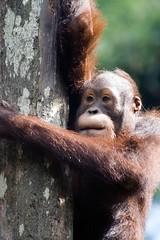 Orangutan - Sandakan, Malaysia