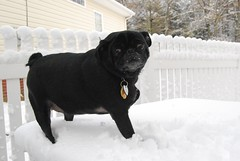 Molly is NOT a snow pug