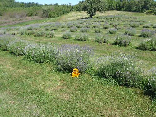 Mr Happy and the lavender