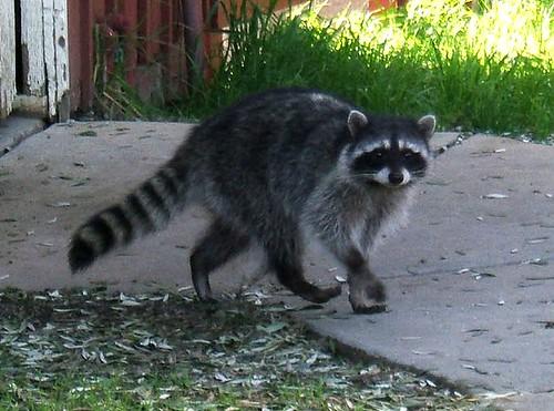 2006_10_05_raccoon