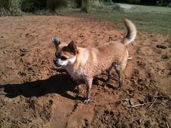 Super muddy chihuahua