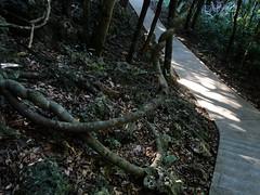蜿蜒、迴旋的樹根