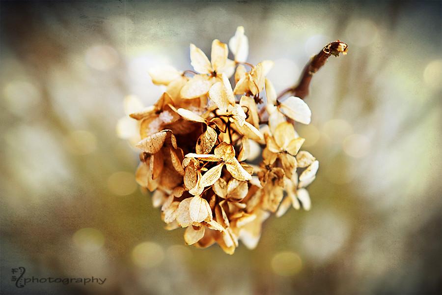 Hydrangea in winter
