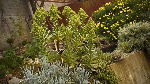 flowering cones of the aeonium