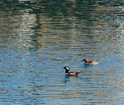 Mr. & Mrs. Hooded Merganser