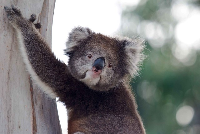 Koala Bokeh