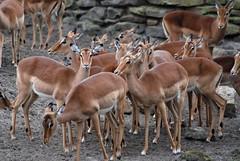 Impalas im Dierenpark Emmen im April 2010