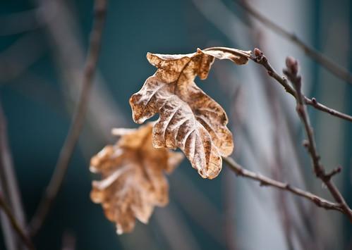 Shrivel Leaf in the Freezing Rain 1 of 2