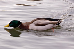Le canard torpille