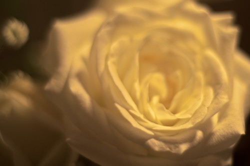 Dreamy White Rose