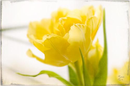 Yellow Tulip - yellow sunlight