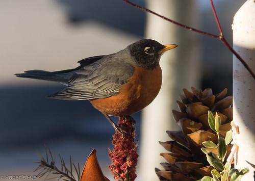 Spring Robin  by Roger's Eye