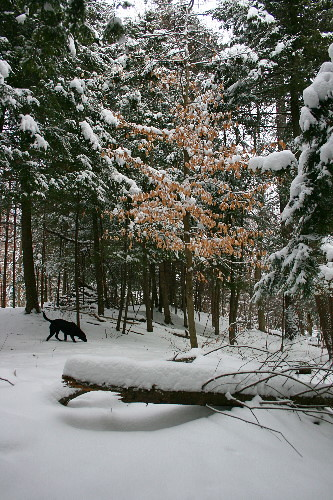 Raven among snowy conifers