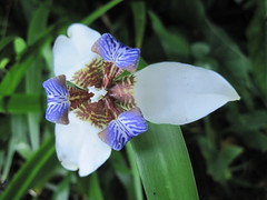 Neomarica flower (walking iris, apostle plant)