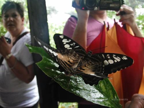 Butterflies mating in Butterfly Garden in Bohol