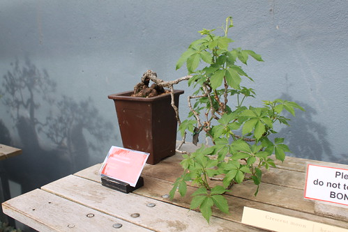 Brooklyn Botanical Gardens - Bonsai Display - Virginia Creeper with Shadows