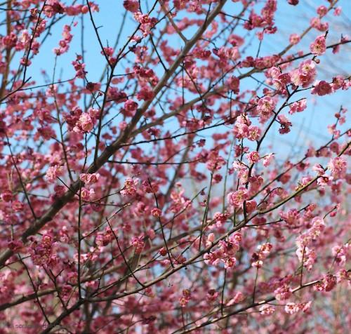 Mai Hua- Cherry Blossoms