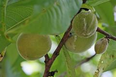 泉の森のウメ(実)(Japanese apricot, Izuminomori Park, Yamato, Kanagawa, Japan)