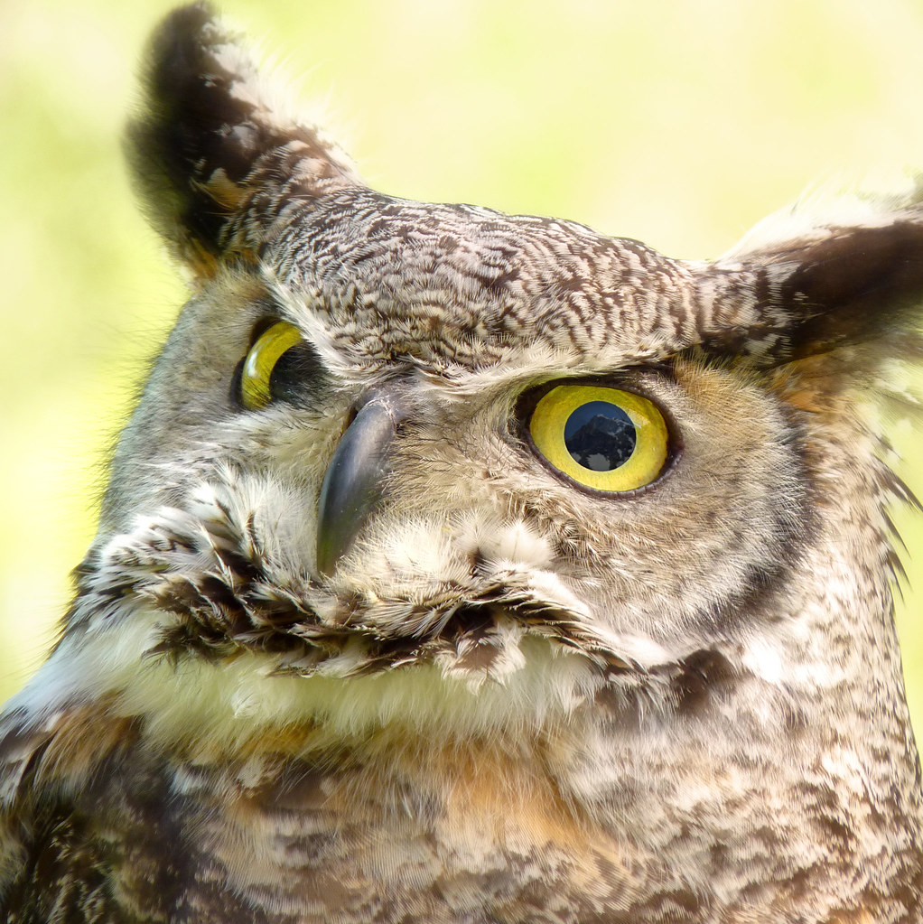 The Great Horned Owl watching the alps mountains for prey