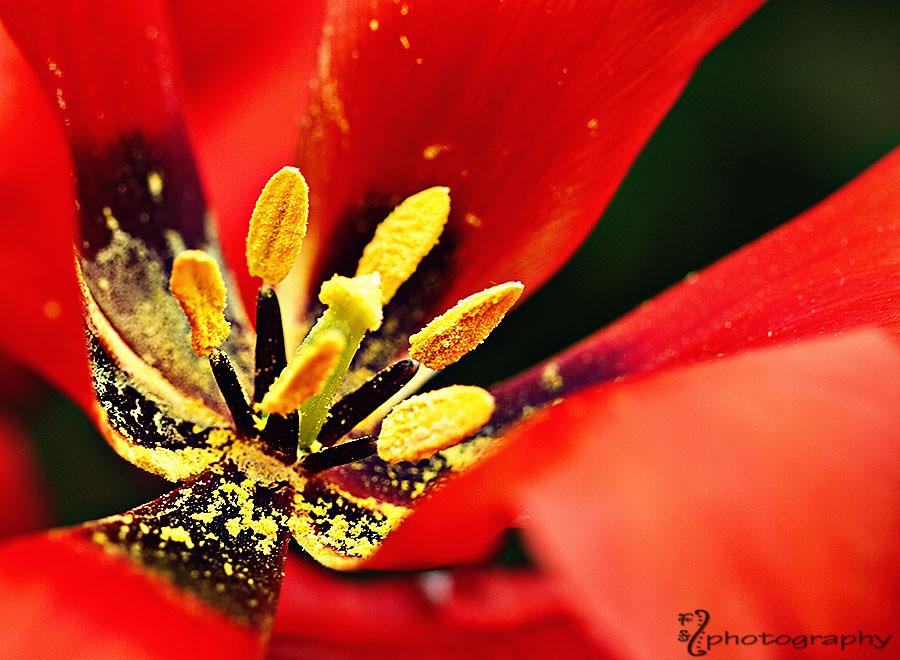 Anatomy of a tulip (6)