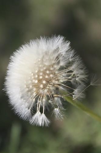 04.12.2011 Dandelion