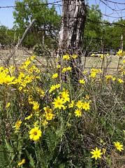 Wild Flowers Near Burnet TX