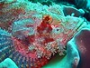 Bearded Scorpionfish - Scorpaenopsis barbata by divemecressi