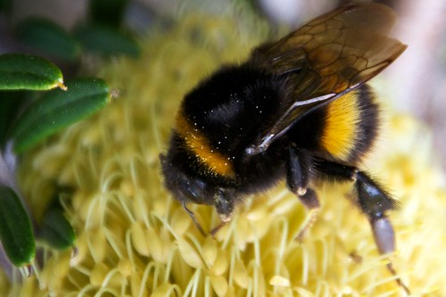 Mega-Bee