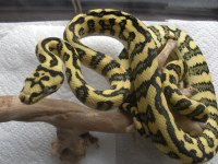 94% DIAMOND JUNGLE JAGUAR carpet python just shed ...