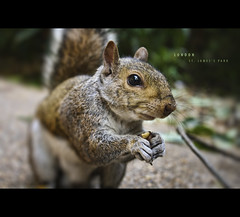 Eastern Grey Squirrel in St James's Park by Photofreaks