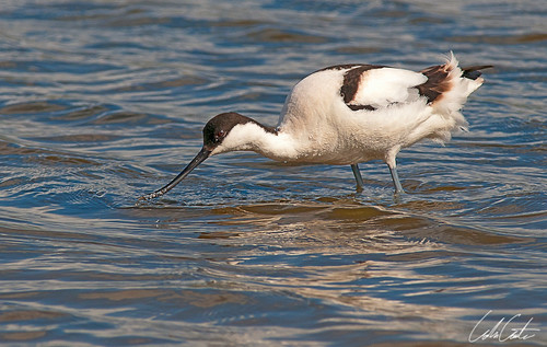 AVOCET by TheApertureMan