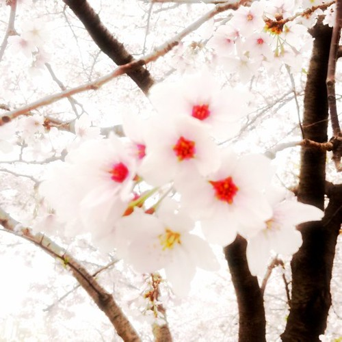なんか可愛らしくなったね! #sakura #afternoon