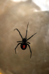 Black Widow in the Bug Box