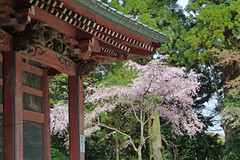 日向薬師を歩く―本殿と桜(Main shrine and cherry blossoms, Hinata Yakushi Temple, Kanagawa, Japan)